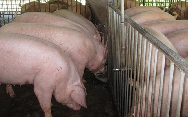 Giá lợn hơi hôm nay 24/8: Tăng giảm trái chiều