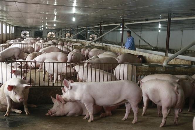 Từ hôm nay (12/6), nhập khẩu lợn sống từ Thái Lan về Việt Nam