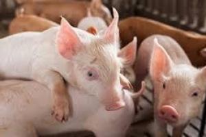 Giá lợn hơi hôm nay 18/8: Tại cả ba miền tiếp đà giảm nhẹ, đã có địa phương về mức 79.000 đồng/kg