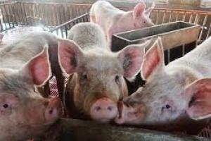 Giá lợn hơi hôm nay 17/8: Tiếp tục giảm tại miền Bắc và Tây Nguyên