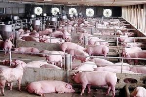 Giá lợn hơi hôm nay 6/8: Tiếp diễn đà giảm giá ở một số địa phương