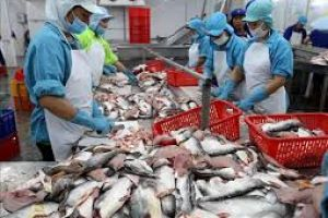 Bài toán về nguồn cung cá tra
