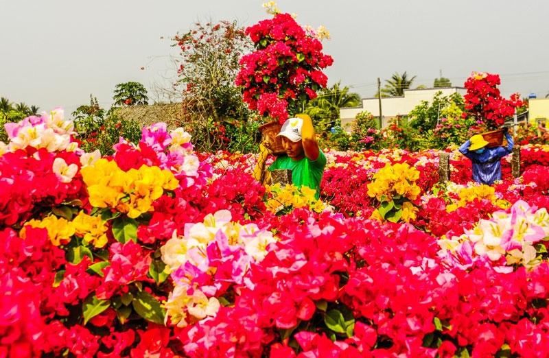 Chợ Lách tiêu thụ trên 8 triệu sản phẩm hoa kiểng Tết