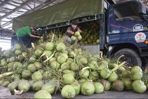 Hỗ trợ người dân chăm sóc, khôi phục vườn dừa