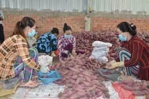 Tiêu thụ nông sản thông qua HTX và sàn thương mại điện tử