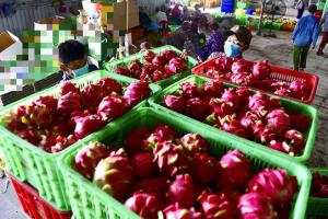 Trung Quốc tạm dừng nhập thanh long tại cửa khẩu Quảng Ninh