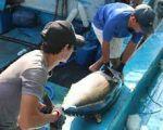 Xuất khẩu cá ngừ tháng 9 giảm 15%